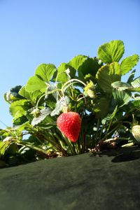 773040_strawberry_farm_3