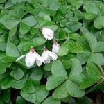 Eradicating Oxalis – some options