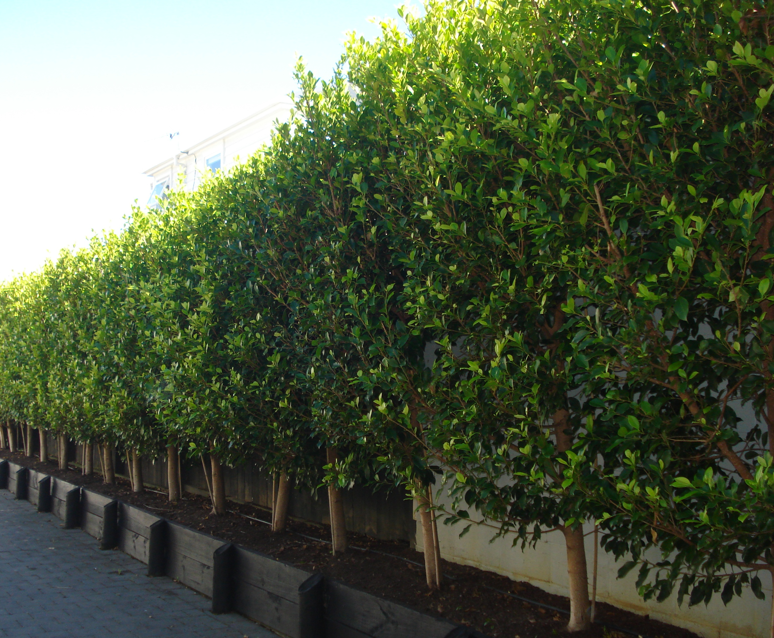 Introducing ficus tuffi availability for New zealand garden designs ideas