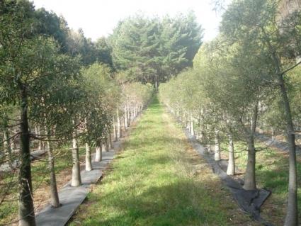 1. 15 year old bottle trees in the field.jpg